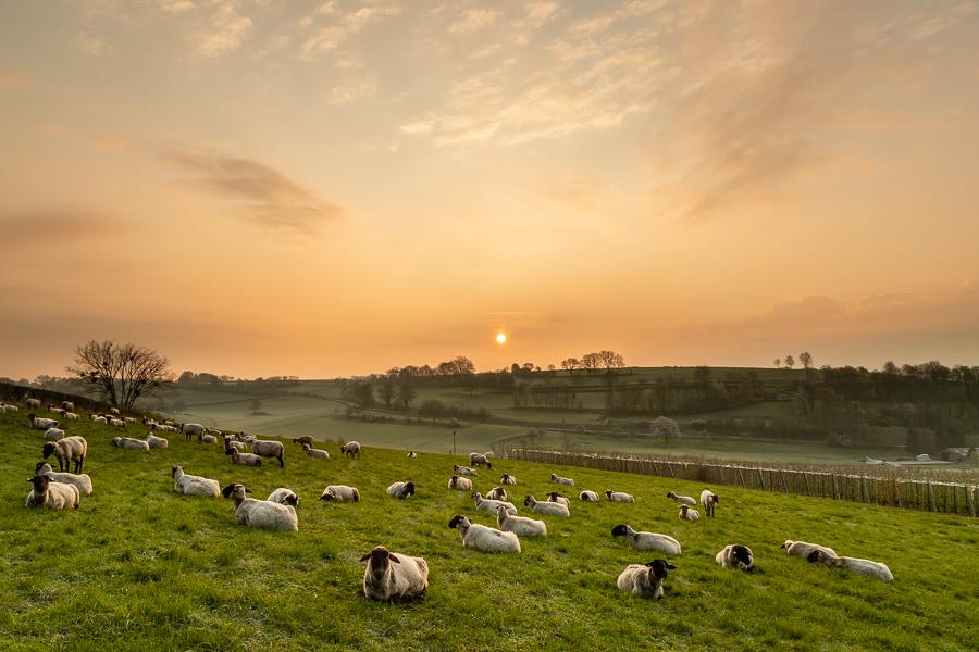 Een ochtend met de schapen
