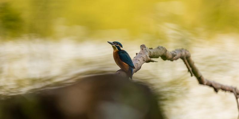 IJsvogel op de tak