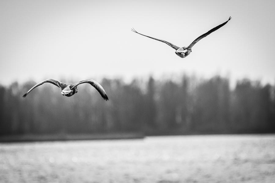 Ganzen over Lauwersmeer