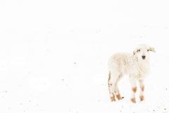 Sneeuwlammetje, Honthem