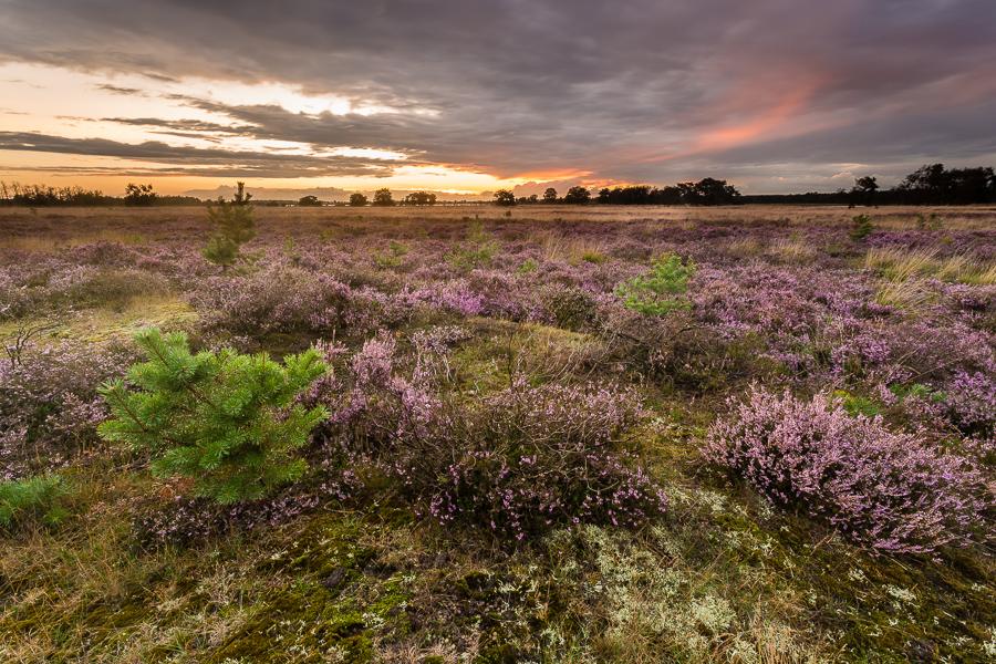 Paarse Heide II, Lierop