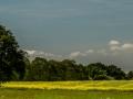 Gele velden, Cobham Wood