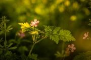 Bosanemoontje in de zon, Savelsbos